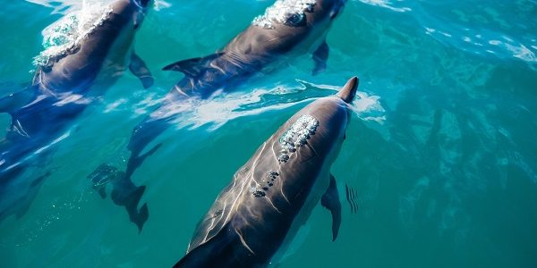 three dolphins swimming in the sea