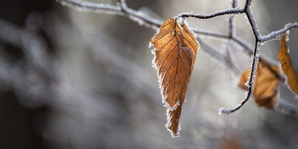 Photo of a wintry leaf covered in frost.