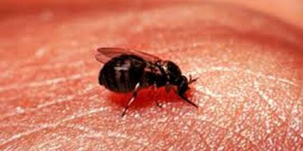 MIU update: Patients with Blandford fly bites