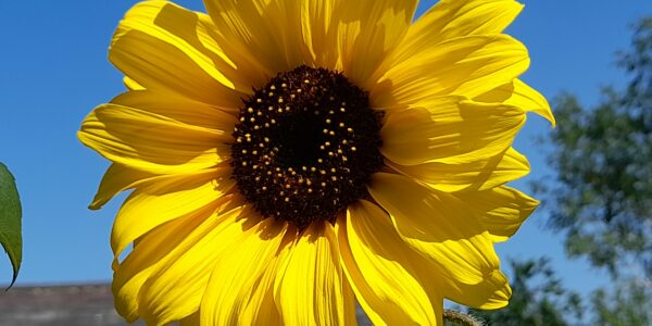 The success of our community sunflowers